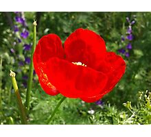 Beautiful Poppy Photographic Print