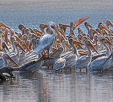 Pelican Pano by Peter Thorpe