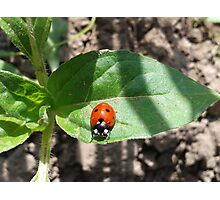 Amazing Ladybird On Leaf Photographic Print