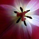 Tulip Heart by © Loree McComb