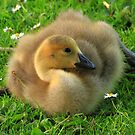 Canada Goose Gosling by Paul Bettison