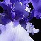 Iris by © Loree McComb