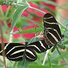 Zebra Longwing Duet by shutterbug2010