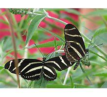 Zebra Longwing Duet Photographic Print