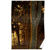 Warm light on the trees Poster