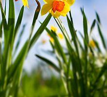 Daffodils by Aaron Radford