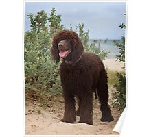 Irish Water Spaniel Poster
