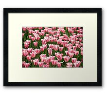 tulip field Framed Print