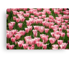 tulip field Canvas Print