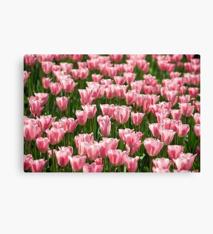 tulip field Canvas Print