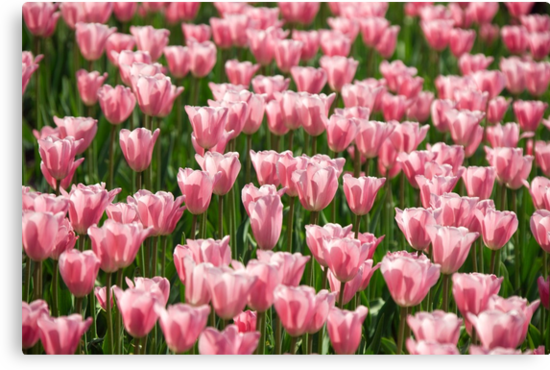 tulip field by Alexandr Zadiraka