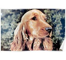 Ollie the Red Setter Poster