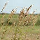 Grass on the Tantramar Marsh by anicolle