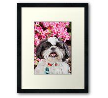 Cute Shih Tzu Dog Portrait with Pink Flowers  Framed Print