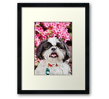 Cute Shih Tzu Dog Portrait with Pink Flowers  Framed Print