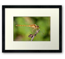 Sweet Dragonfly Framed Print