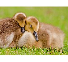 Cuddling Goslings  Photographic Print