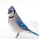 Blue Jay on Snow  by Daniel  Parent