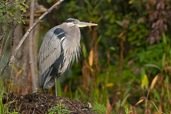 Blue Heron at Rest by Daniel  Parent