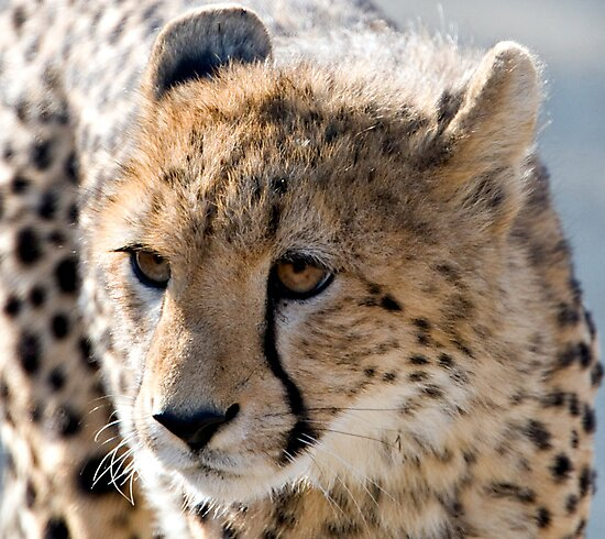 Cheetah Cub by Michael  Moss