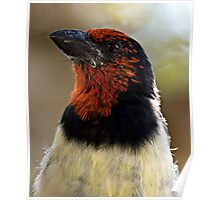 Black Collared Barbet Close Up Poster