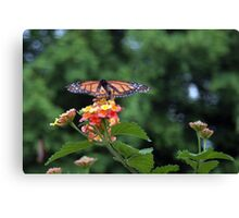 The King of Butterflies – The Monarch  Canvas Print