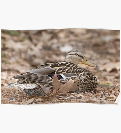 Camouflage Duck  Poster