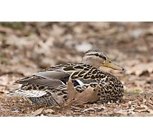Camouflage Duck  Photographic Print