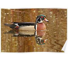 Wood Duck and Reflection Poster