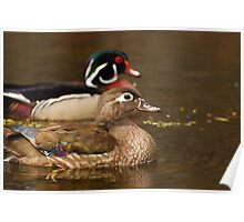 Wood Duck Courtship Poster