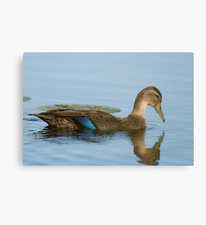 Blue-winged Teal Duck  Canvas Print