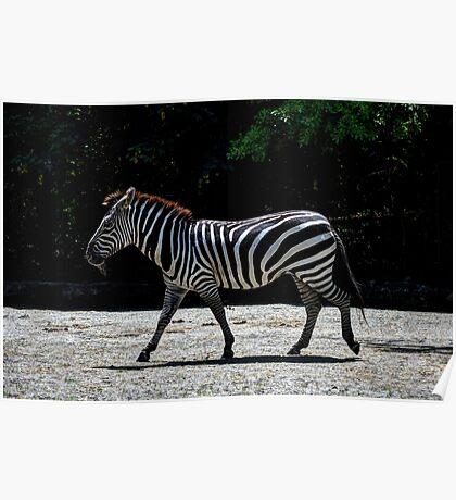 Zebra - Roger Williams Park Poster