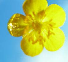 Buttercup by Steven Nicolaides