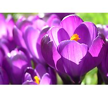 Purple Crocus Flowers Photographic Print