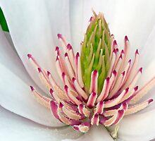 Sweet Magnolia  by Daniel  Parent