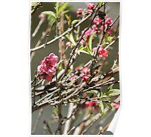 Bloomin' Pink; Wat Garden, La Mirada, CA USA Poster