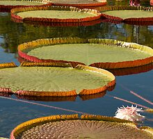 Giant LillyPads by JimGuy