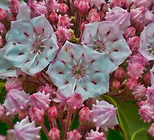 Mountain Laurel by Marion Daly
