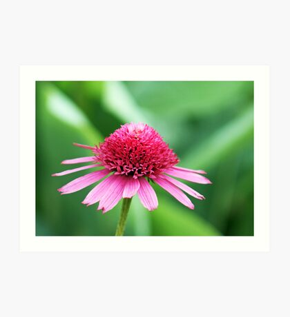 Pretty in Pinks Coneflower Art Print