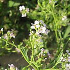 Tiny Purple Flowers at Troon Beach by AleFest