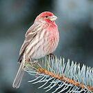 House Finch on Spruce Branch by Daniel  Parent