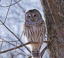 Backlit Barred Owl  by Daniel  Parent