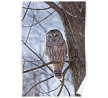 Backlit Barred Owl  Poster