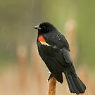 Red-winged Blackbird in the rain by Daniel  Parent