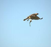 Red - Shouldered Hawk II - Debary, Fl by Karl F Davis