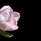 Pale Pink Tulip by Kathleen Brant
