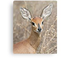 Young Male Steenbok - Up Close Metal Print