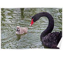 Momma Black Swan & her Cygnet Poster