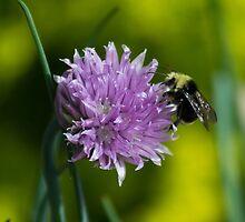 Bee by Lifesfun