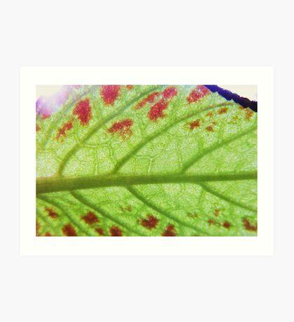 Flame Violet Leaf, through the sun  Art Print